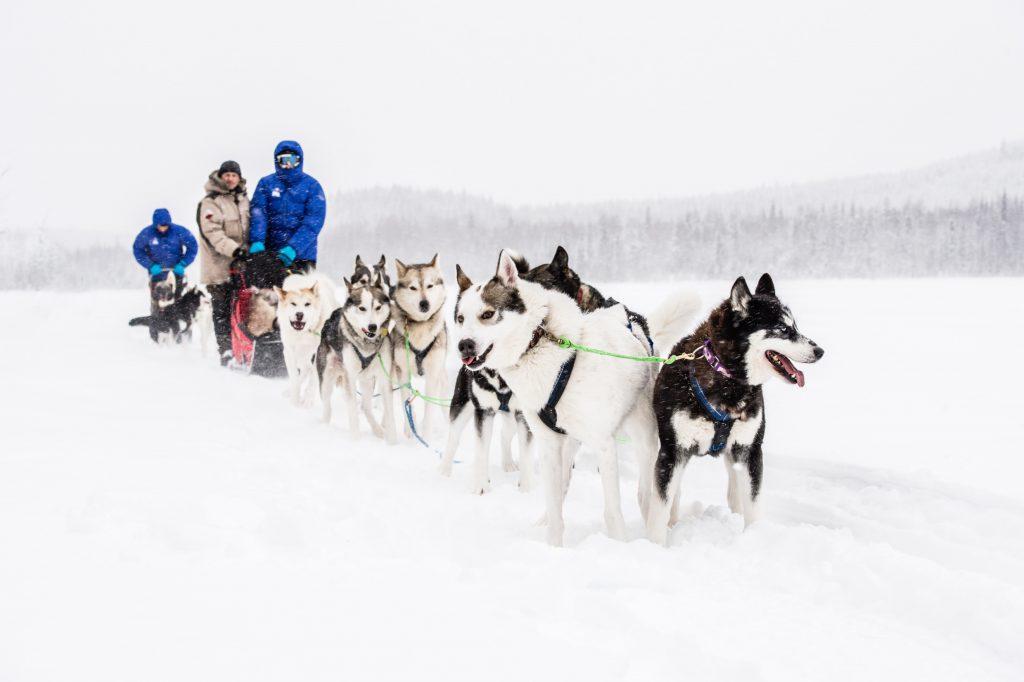 wyścigi psich zaprzęgów w Laponii